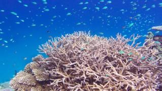 ラームの珊瑚